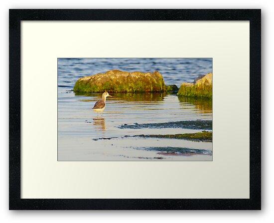 Common Greenshank by Biggzie