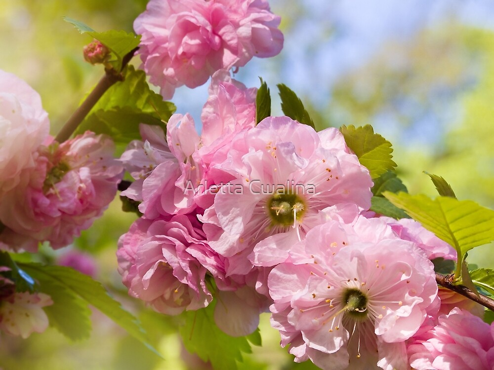 Almond blossoms pink flowering by Arletta Cwalina