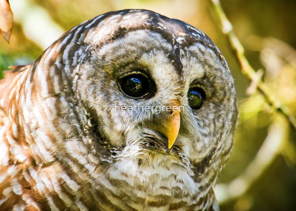 Barred Owl by heathergreen