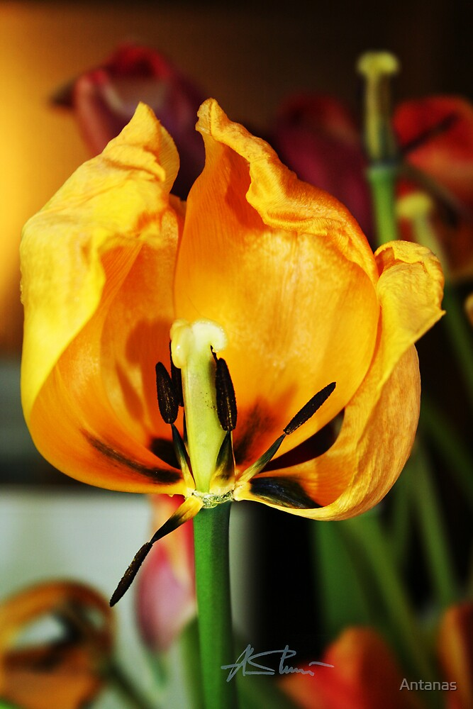 Golden tulip by Antanas
