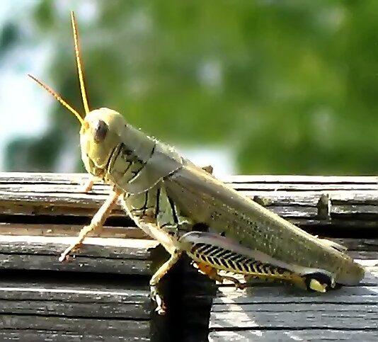 Do not go in fear, Grasshopper by Tracy DeVore