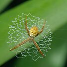 Juvenile St Andrew's Cross Spider by Andrew Trevor-Jones