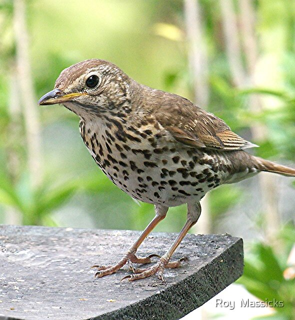 Thrush comes a-calling.......!! by Roy  Massicks