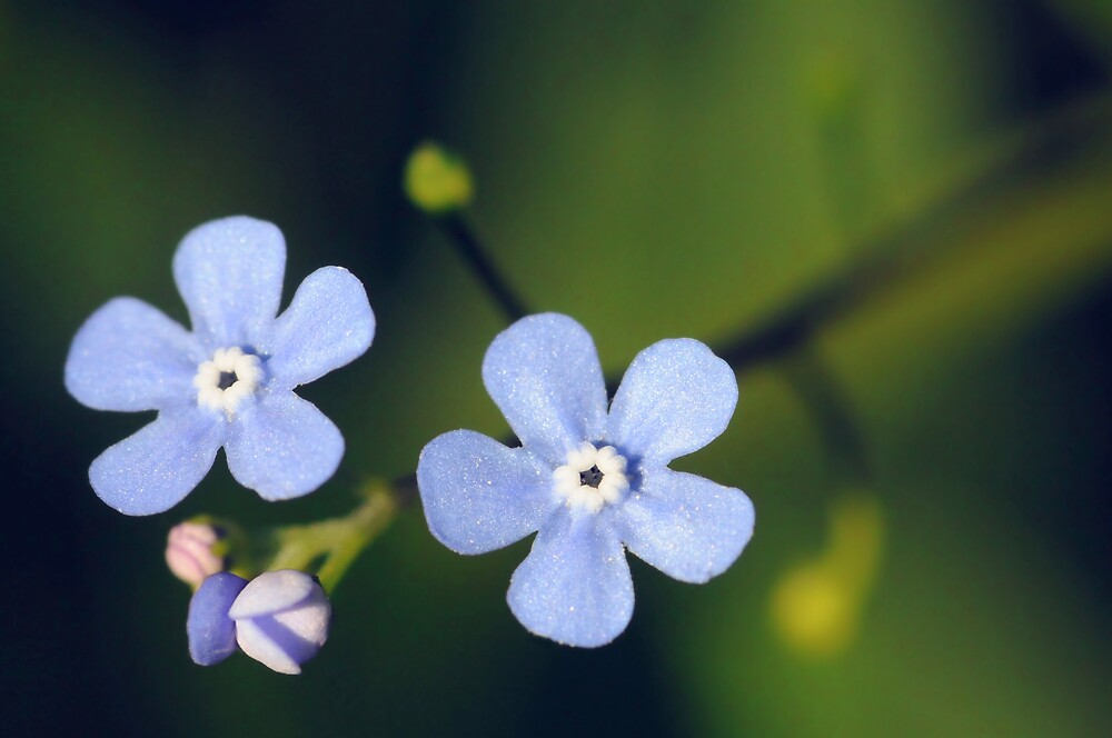 Forget-Me-Not  by mc27