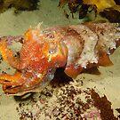 Giant Cuttlefish by Andrew Trevor-Jones