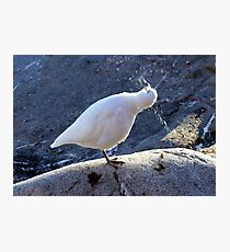 Snowy Sheathbill Photographic Print