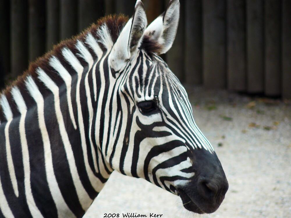 Zebra by BillK