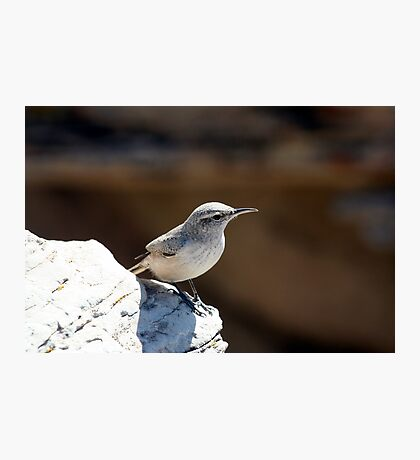 Rock wren Photographic Print
