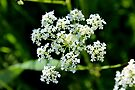 Cow Parsley by Kathleen Daley