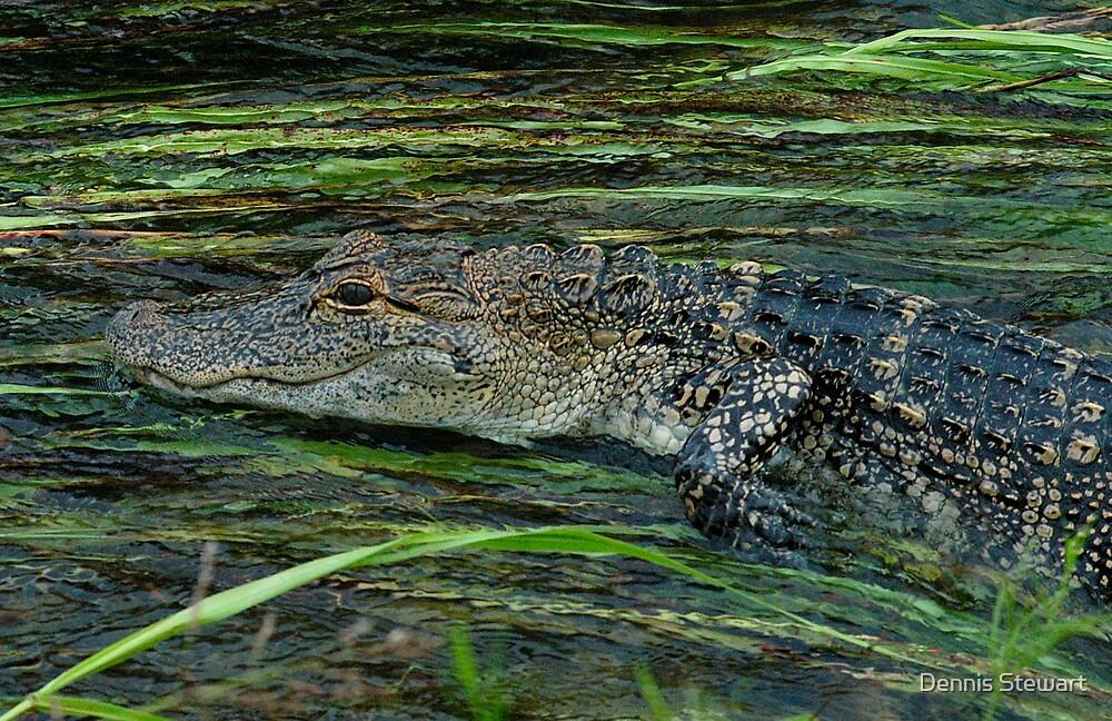 Alligator in flowing water by Dennis Stewart