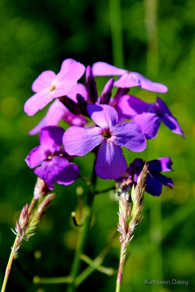 Wild Phlox II by Kathleen Daley