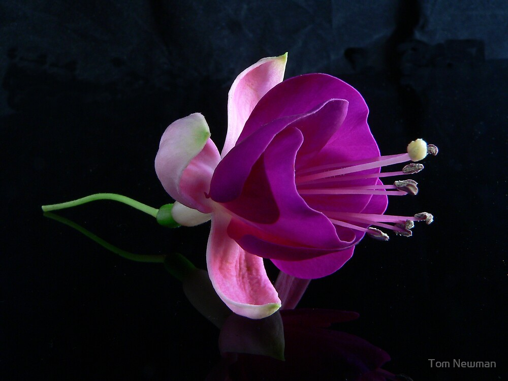Fuchsia VII by Tom Newman