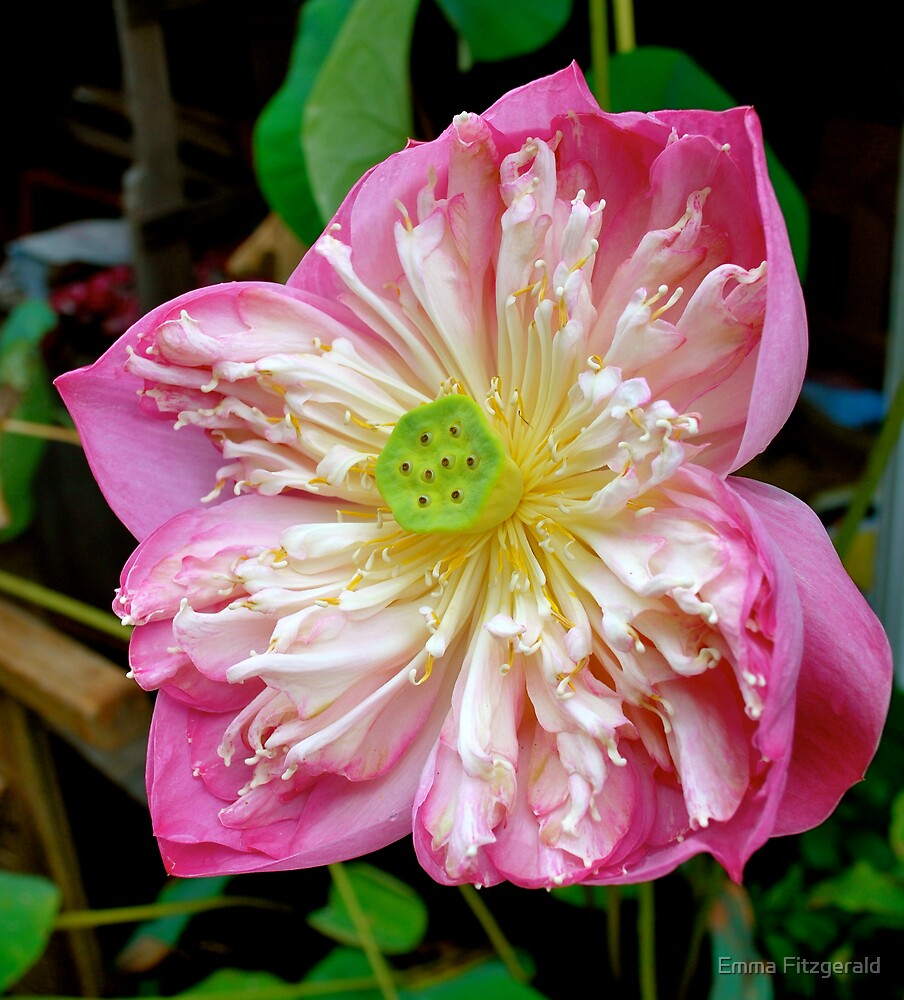 Pink Waterlily by Emma Fitzgerald