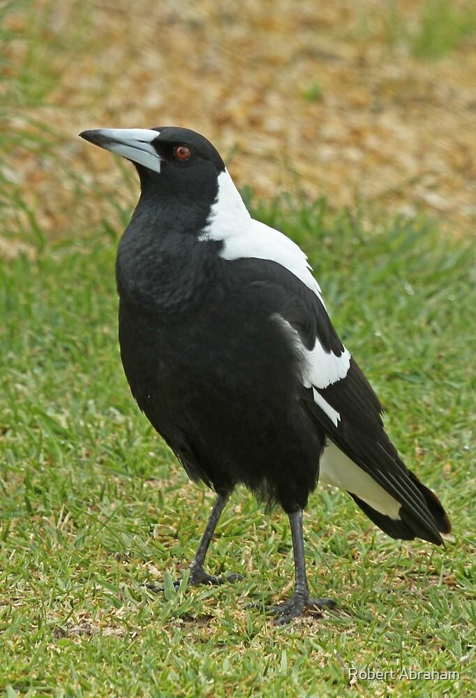 Australian Magpie by Robert Abraham