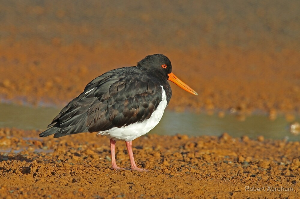 Pied Oystercatcher by Robert Abraham