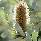 Australian Banksia Flower by Diego Re