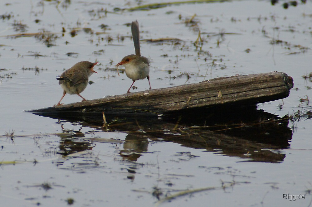 Lake Edward Wrens by Biggzie