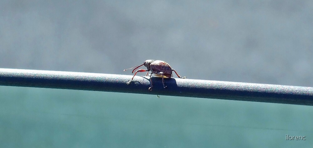 Weevil on a Window by ilorenc