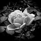 Rose in black and white by Fran Woods
