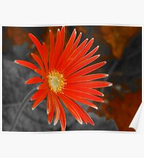 South African Daisy II Poster