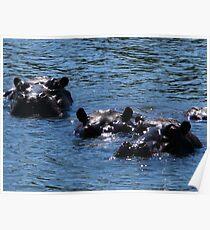 Hippos, Chobe River, Chobe National Park, Botswana Poster