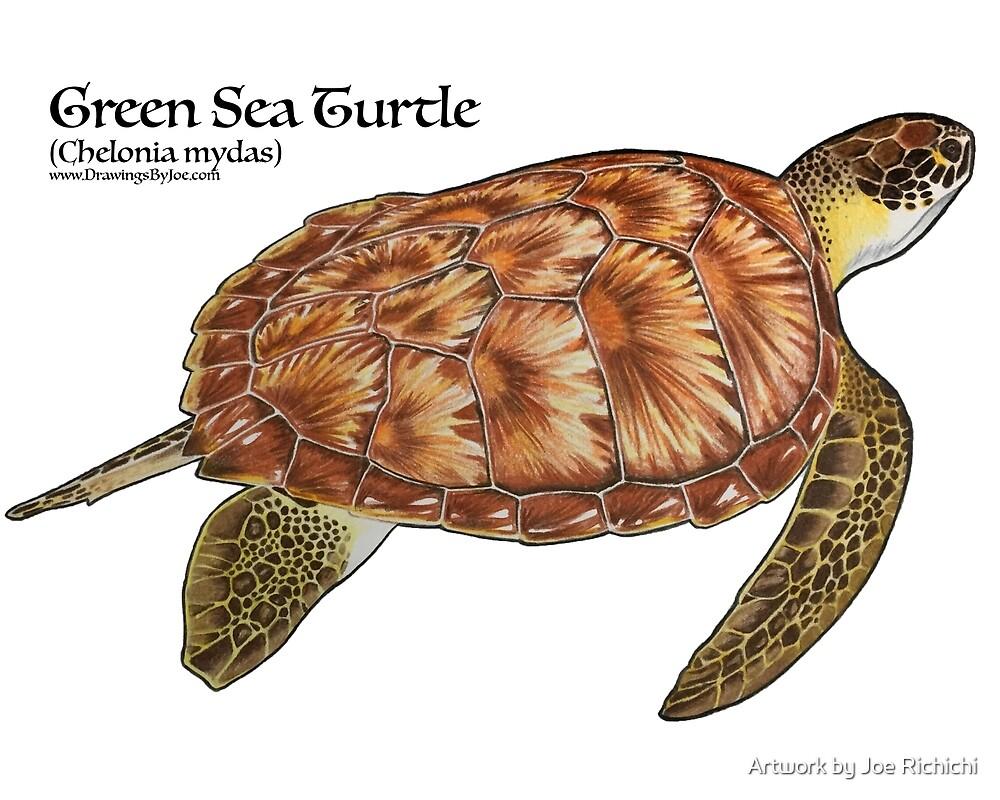 Green Sea Turtle by Joe Richichi
