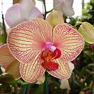 Phalaenopsis with red veins by May Lattanzio