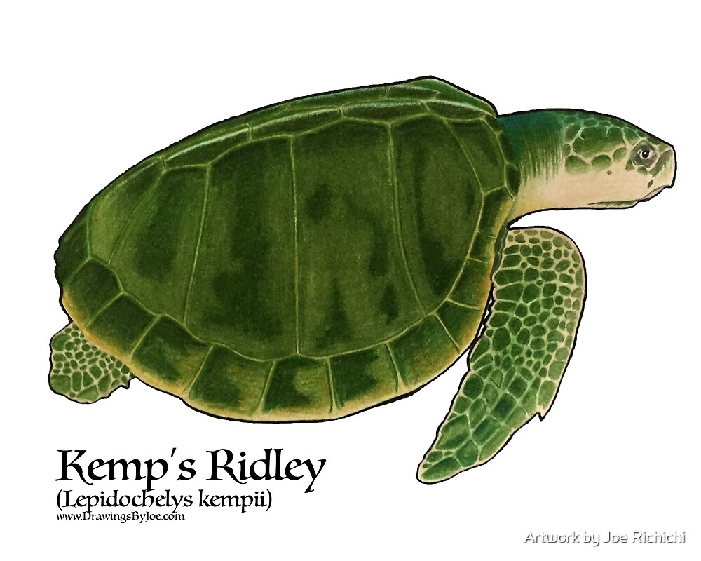 Kemp's Ridley Sea Turtle by Joe Richichi