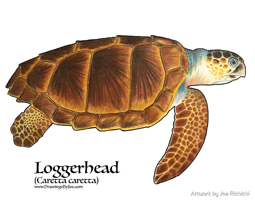Loggerhead Sea Turtle by Artwork by Joe Richichi