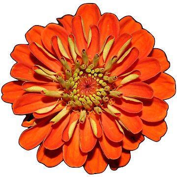 Bright Orange Zinia  by olgachwa