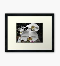 Pure and Lovely - Phalaenopsis Framed Print