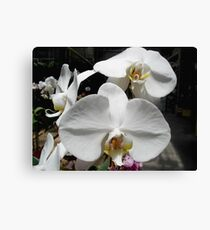 Pure and Lovely - Phalaenopsis Canvas Print