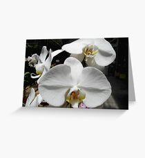 Pure and Lovely - Phalaenopsis Greeting Card