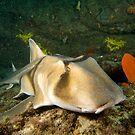 Port Jackson Shark by Andrew Trevor-Jones