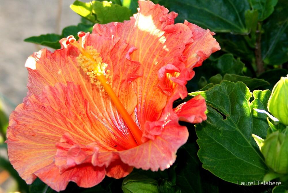 Ruffled Orange Hibiscus by Laurel Talabere
