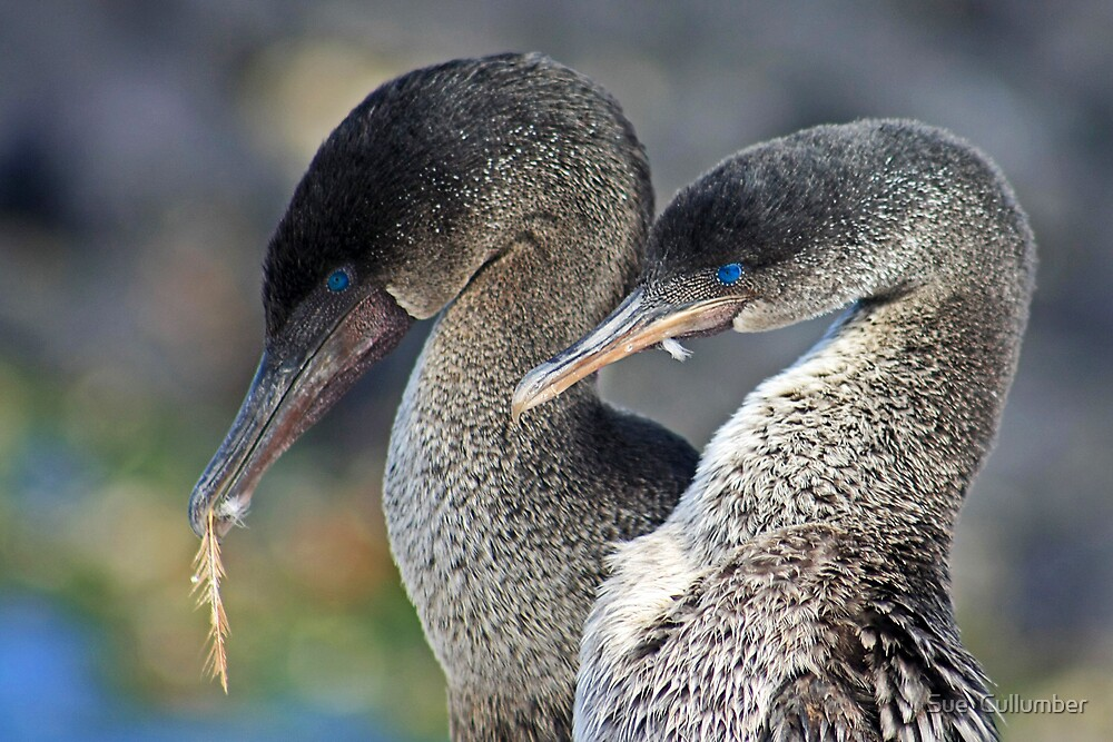 Flightless Cormorants by Sue  Cullumber
