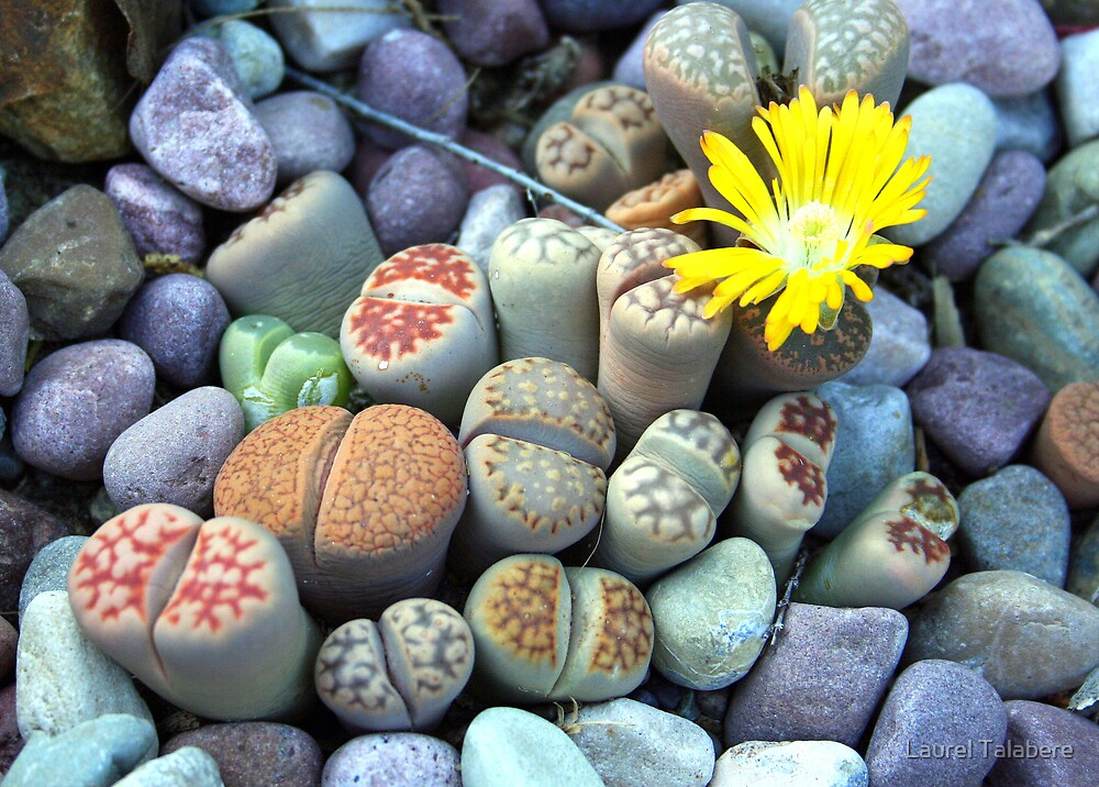 Quot Yellow Flower Among Living Stones Lithops Quot By Laurel