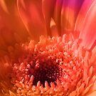 Colorful Gerbera Macro by hurmerinta