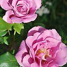 """Rosa """"Moonshadow"""" by Julie Sherlock"""