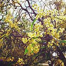 let's celebrate Wattle Day by jayview