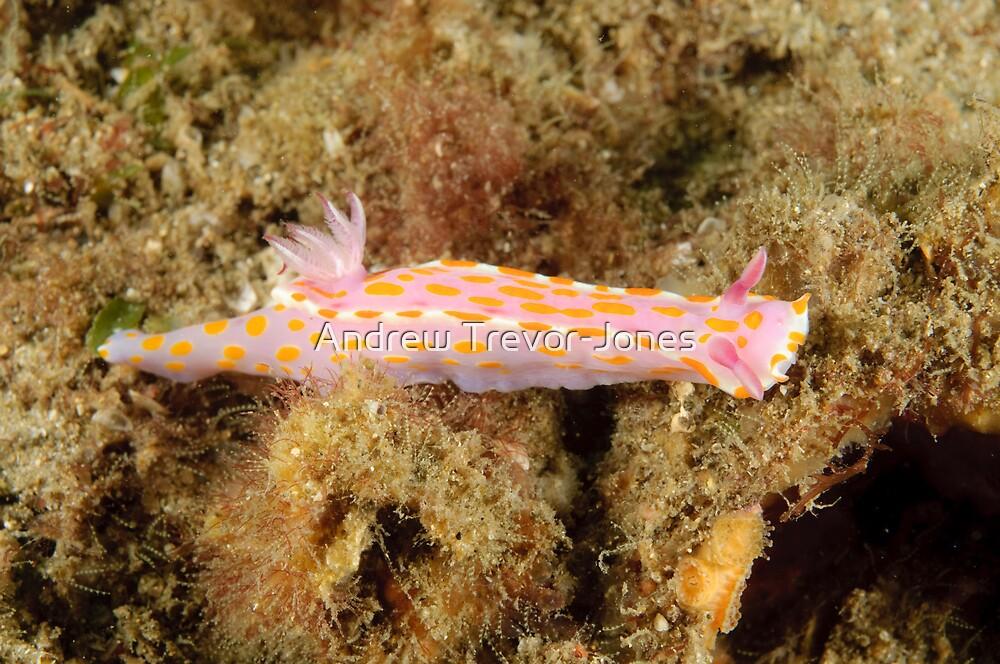 Nudibranch - Ceratosoma amoena by Andrew Trevor-Jones