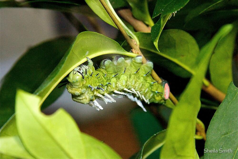 Atlas Moth Catapiller by Sheila Smith