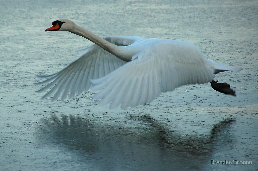 Quot Flying Swan Quot By Brendan Schoon Redbubble