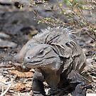 Ricord's Iguana by TaiHaku