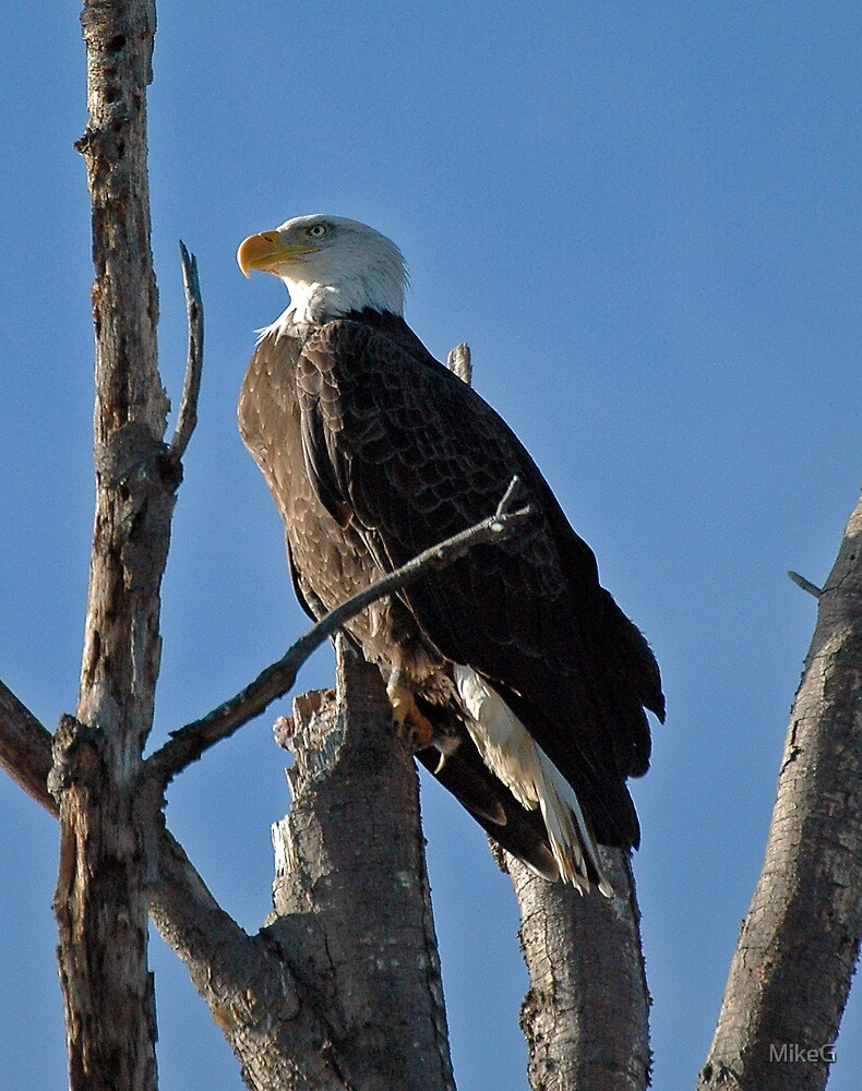 Bald Eagle by MikeG