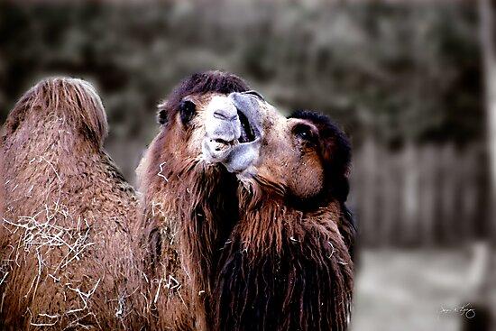 Camel Kiss by Wayne King