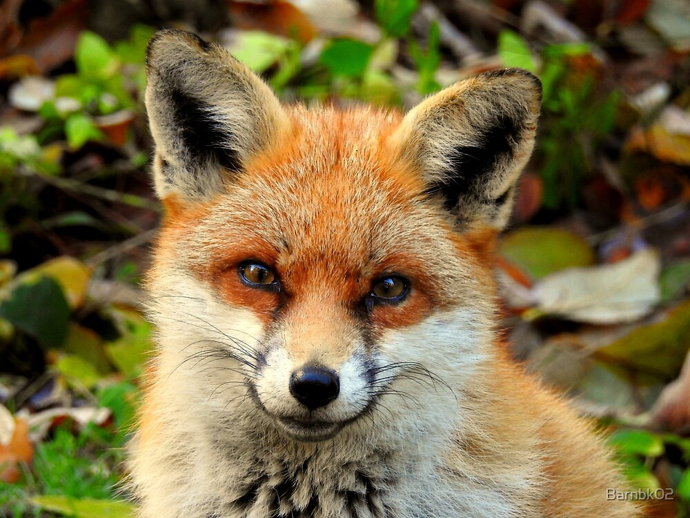 Smiling Fox by Barnbk02