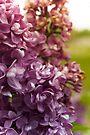 Lilac Bush by mirandaburski