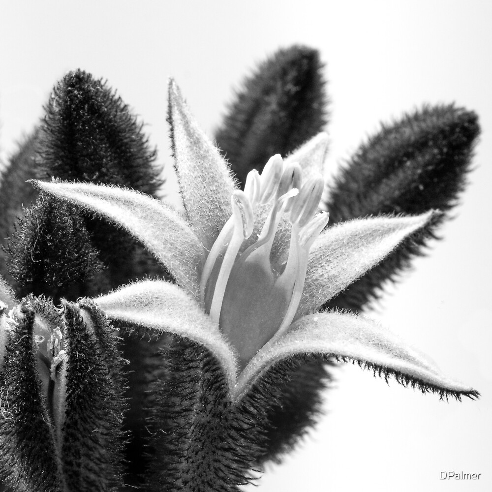 Kangaroo Paw - Single Flower - Macro B&W by DPalmer
