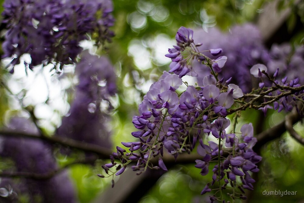 Wisteria by dumblydear
